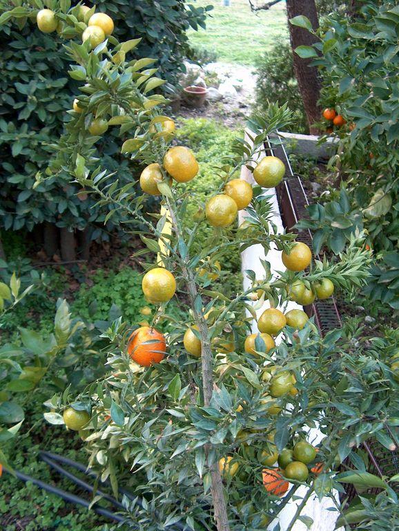 Citrus myrtifolia les orangers doux et amers bigaradiers for Citrus myrtifolia